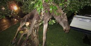 Elch im Baum (Foto AP)